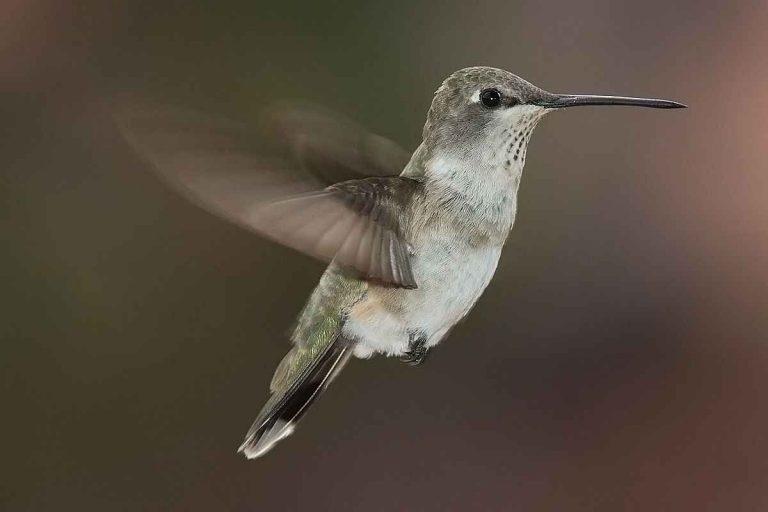 معلومات عن طائر الطنان الاستوائي