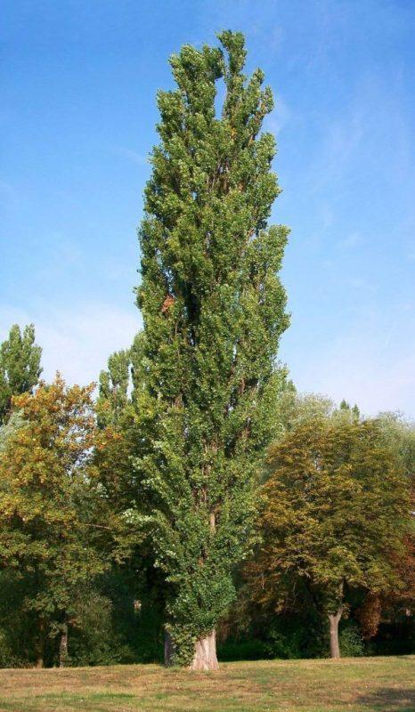 معلومات عن نبات الحور  –