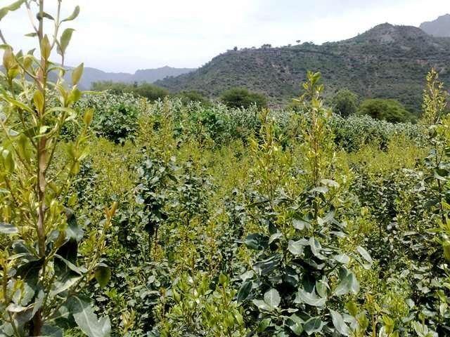 معلومات عن شجرة القات وطريقة زراعتها واستخداماتها