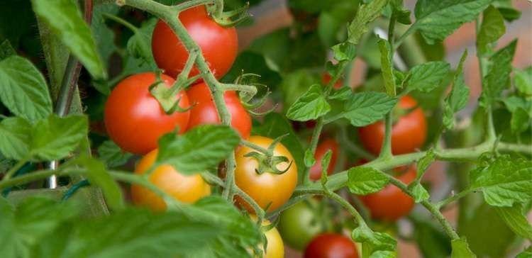 زراعة الطماطم في الصيف بسهولة في المنزل