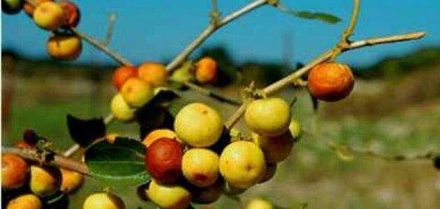 فوائد شجرة النبق - معلومات عن شجرة النبق