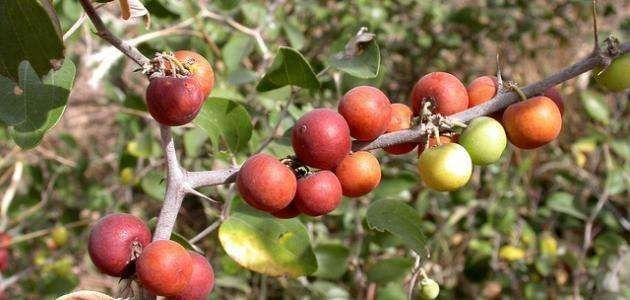 حقائق عن شجرة النبق - معلومات عن شجرة النبق