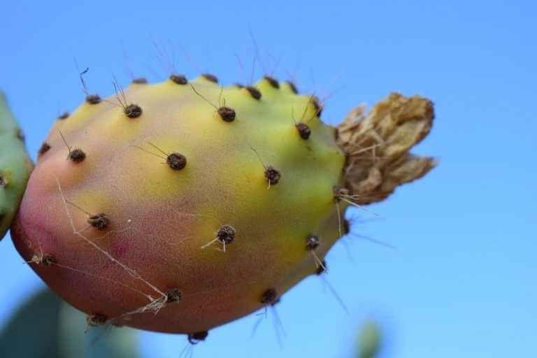 طريقة زراعة التين الشوكى : تعرف على طريقة زراعة التين الشوكى بالشكل الأمثل للحصول على أفضل النتائج المميزة