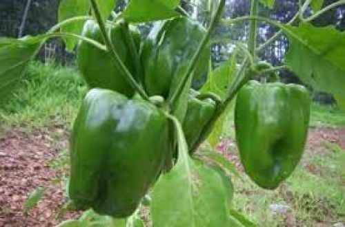 طريقة زراعة الفلفل .. تعلم كيفية زراعة الفلفل فى المنزل ……………………..