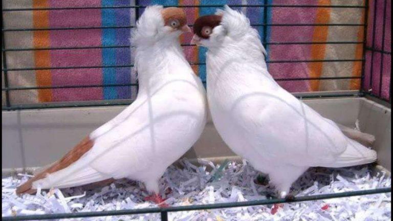 معلومات عن الحمام الهلمت … تعرف على كل ما يخص هذا الطائر الجميل والمميز