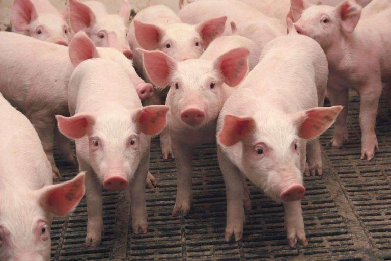 هل تعلم عن الخنزير … معلومات شيقة وحقائق مثيرة عن الخنزير –