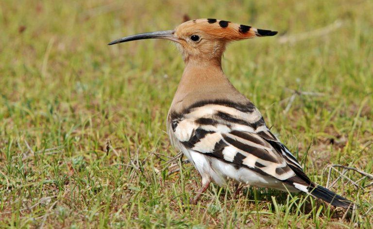 هل تعلم عن الهدهد … تعرف علي معلومات قيمة عن طائر الهدهد