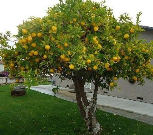 معلومات عن شجرة الليمون .. تعرف على أهم المعلومات عن شجرة الليمون العطرية والعلاجية