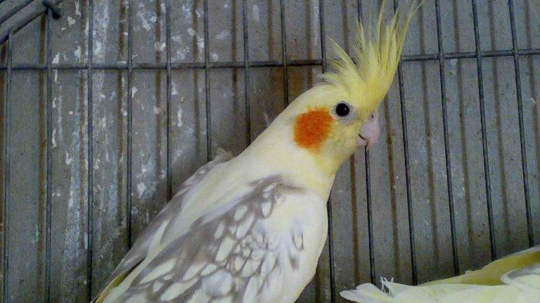 معلومات عن طائر الكروان .. تعرف أكثر على الكروان ……………………….
