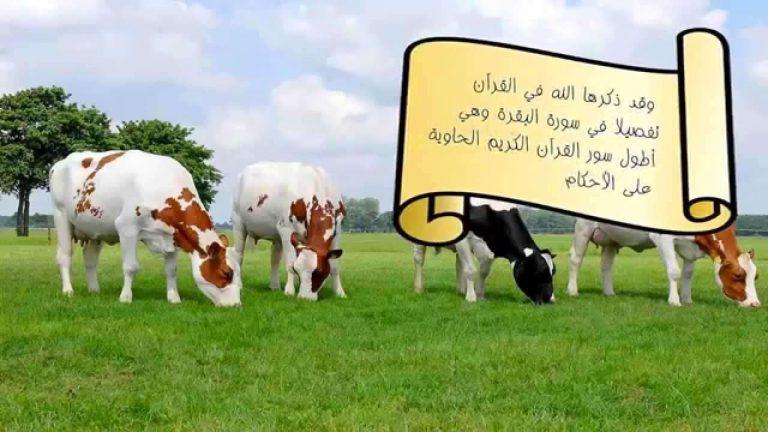 معلومات للاطفال عن البقرة .. إليك مجموعة من المعلومات عن البقرة ..