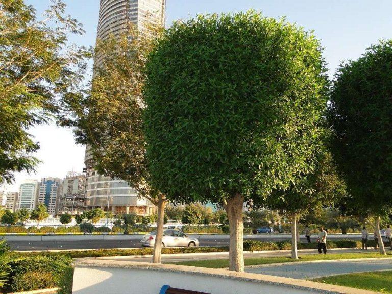 معلومات عن شجرة الكاربس وأهميتها وأماكن زراعتها