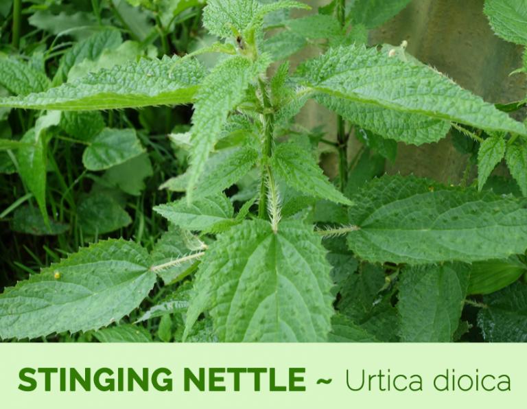 فوائد نبات القراص…12 فائدة للقراص لا تفوت فرصة معرفتها –