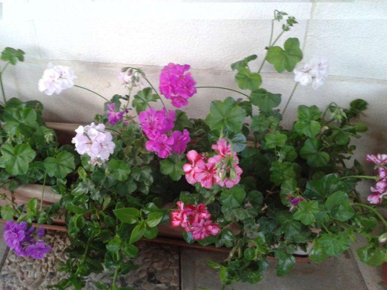 معلومات عن نبتة جارونيا..تعرف على أهم معلومات عن نبتة جارونيا..