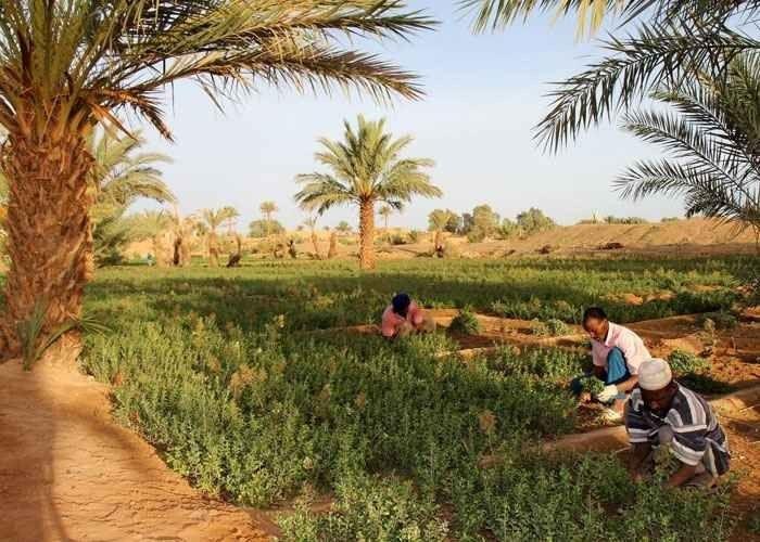 طريقة زراعة الحناء.. تعرف على طرق زراعة الحناء والفوائد الناتجة عن أنواعها الثلاث –