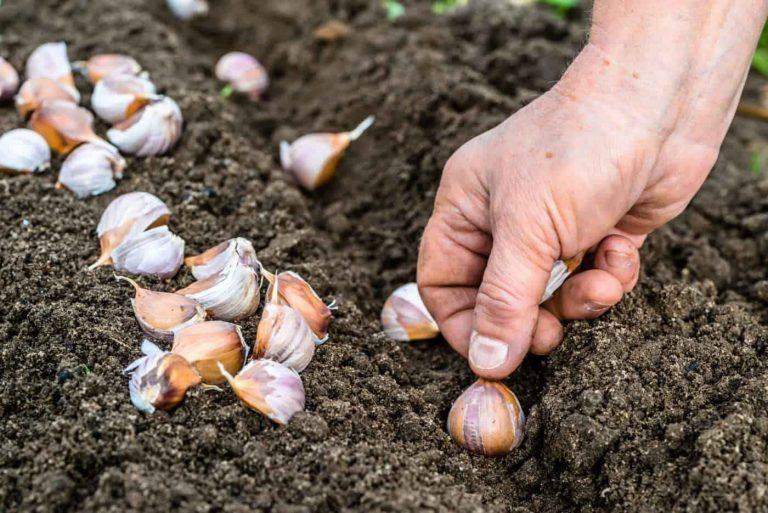 طريقة زراعة الثوم .. حقائق غريبة عن زراعة الثوم وفوائده العديدة للجسم –