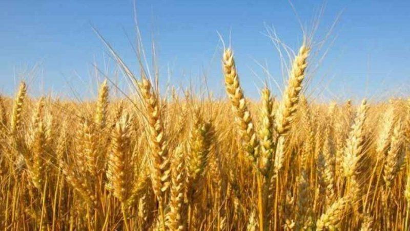 طريقة زراعة القمح .. خطوات زراعة القمح فى المنزل ………………………..