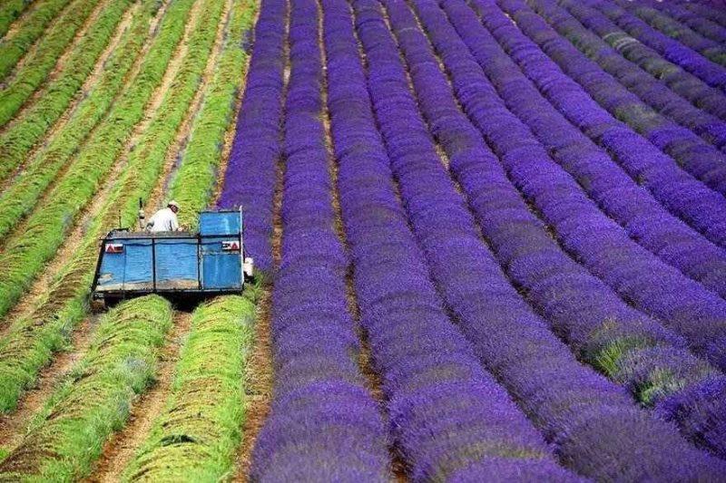طريقة زراعة الخزامى .. إليك خطوات زراعة الخزامى ……………………….