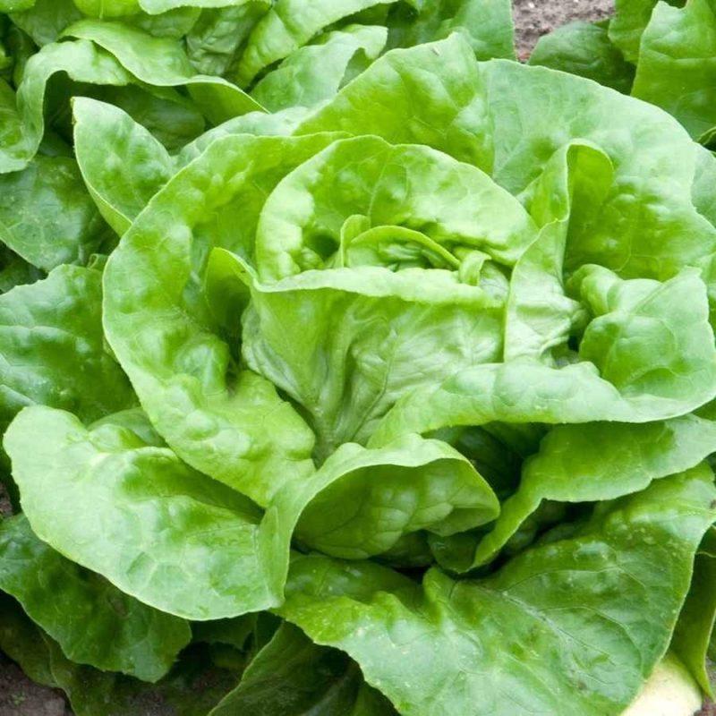 طريقة زراعة الخس .. تعرف على طريقة زراعة الخس للإستفادة من فوائده ……