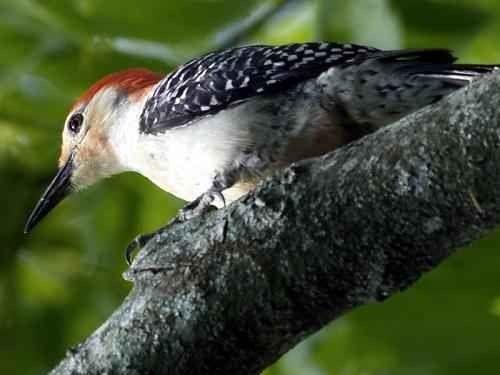 معلومات عن طائر نقار الخشب …. تعرف علي طائر نقار الخشب عن قرب l  بحر المعرفة