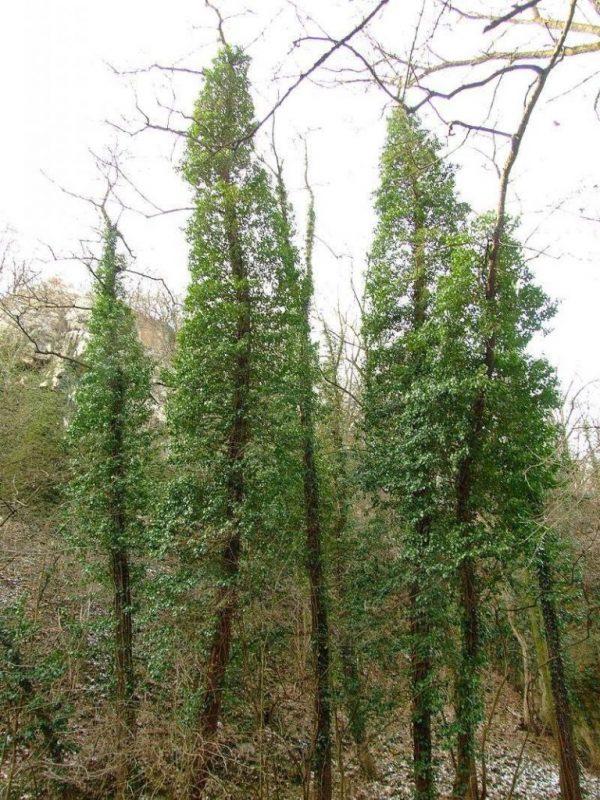 معلومات عن شجرة اللبلاب