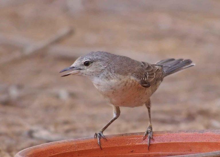 معلومات عن طائر الدخل .. شيخ الطيور