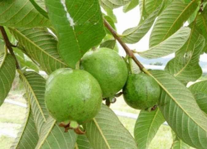فوائد قشر الجوافة .. الإستفادة من قشر الجوافة …………………………………