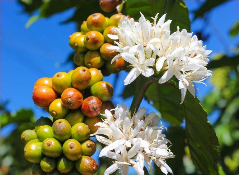 معلومات عن شجرة القهوة