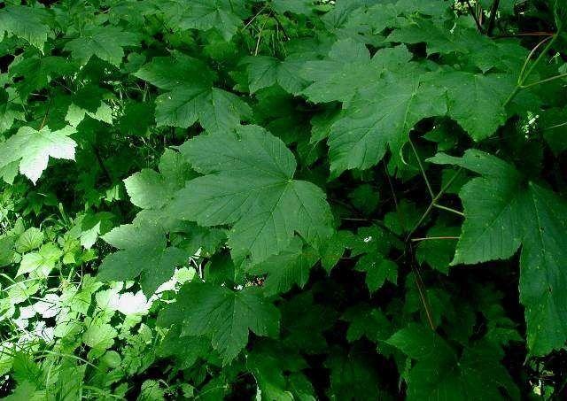 معلومات عن شجرة القيقب