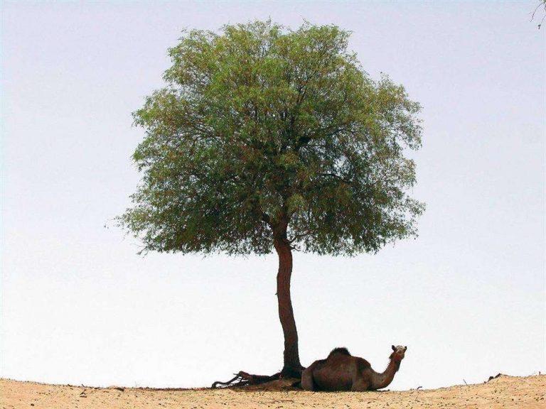 معلومات عن شجرة الغاف – فوائد وأضرار شجرة الغاف وأماكن انتشارها