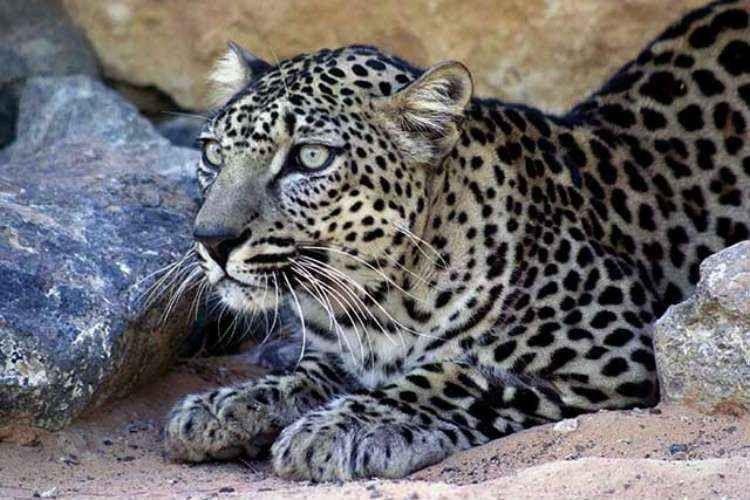 معلومات عن النمر العربى… تعرف على اهم ما يخص هذا الحيوان الضارى آكل اللحوم والمهدد بالانقراض