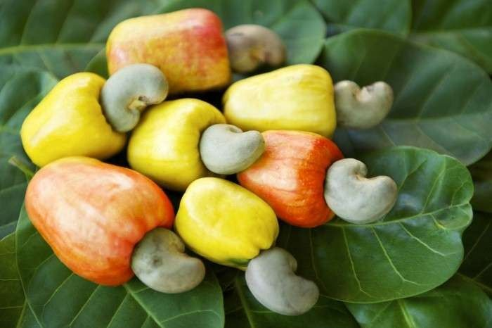 شجرة الكاجو – تعرف على أهم المعلومات والحقائق المدهشة عن شجرة الكاجو