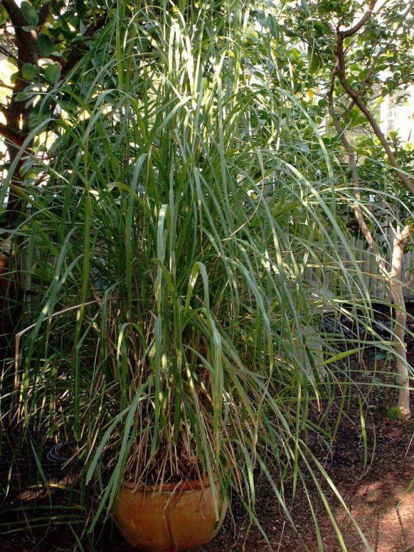 فوائد الاذخر… تعرف علي العديد من الفوائد والاستخدامات لنبات الاذخر /  بحر المعرفة