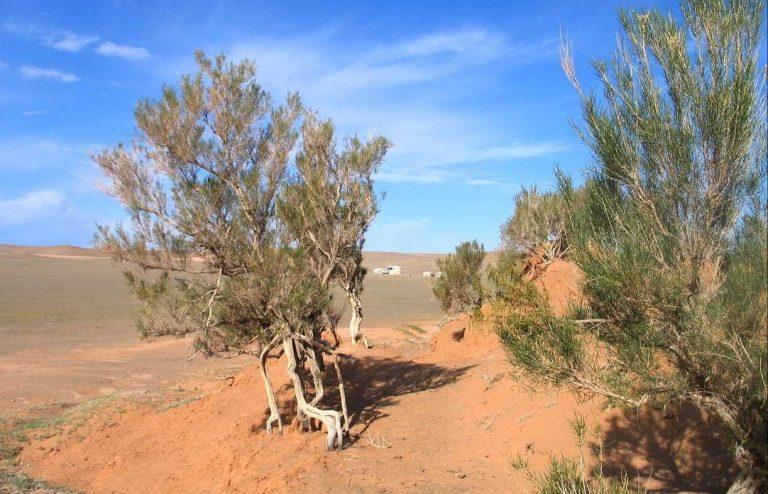 معلومات عن شجرة الغضا
