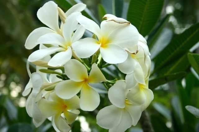معلومات عن شجرة الياسمين الهندي.. أهمها توقيت الزراعة وطرق رعايتها