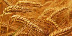 تفسير رؤية سنابل وحبوب القمح في المنام