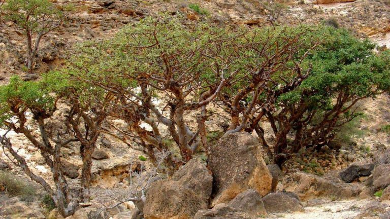 معلومات عن شجرة اللبان