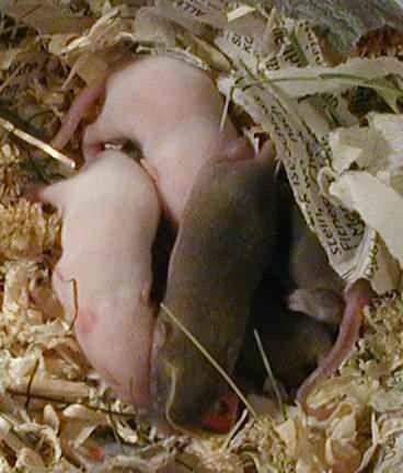 حقائق عن الفئران…تعرف على ألوان الفئران والأماكن التى تعيش بها والأضرار الناتجة عن تواجدها بالمنزل .