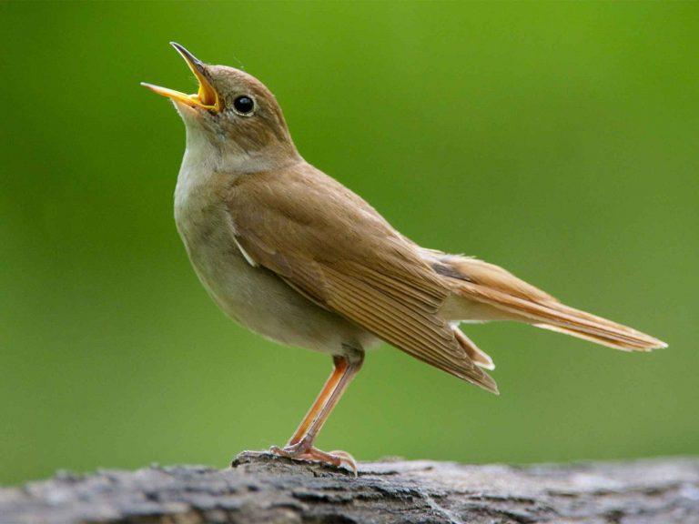 معلومات عن طائر العندليب الذي ألهم أشهر موسيقيي العالم بألحانه الرائعة