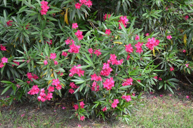 معلومات عن نبات الدفلة  –