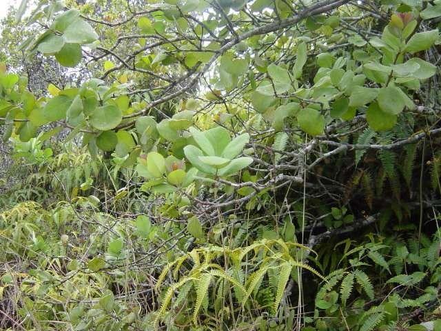 شجرة الصندل تعرف على أهم المعلومات المذهلة عن شجرة الصندل العلاجية