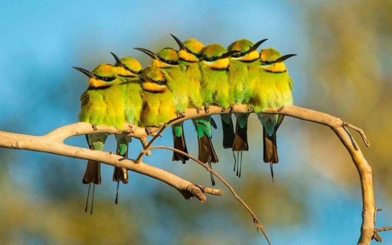طريقة تربية العصافير الاسترالي… أشهر خمسة أنواع للعصافير الاسترالي