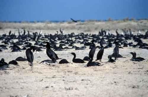معلومات عن طائر الغاق …. تعرف على طائر الغاق المميز كيف يعيش وانواعه المختلفة –