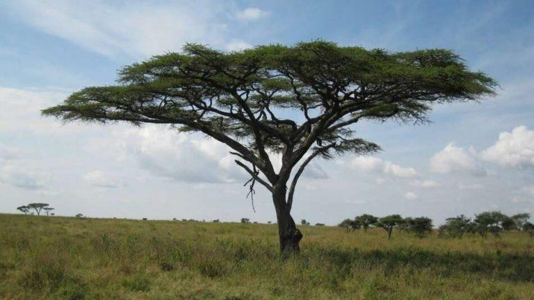 معلومات عن شجرة الصمغ العربي