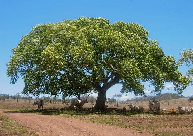 معلومات عن شجرة اللبخ – حقائق ومعلومات تهمك عن شجرة اللبخ