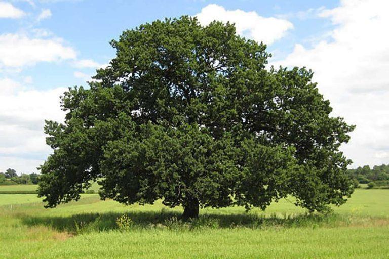 معلومات عن شجرة البلوط – حقائق ومعلومات هامة عن شجرة البلوط