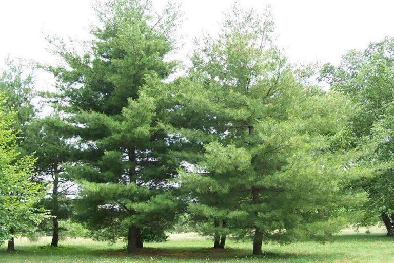 شجرة الصنوبر