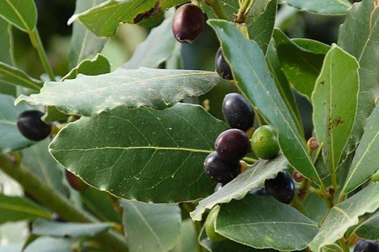 معلومات عن شجرة الغار العطرية واستخداماتها المتعددة