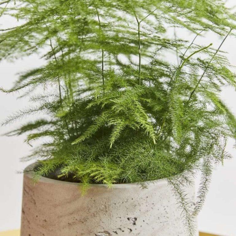 معلومات عن نبات الاسبرجس الناعم