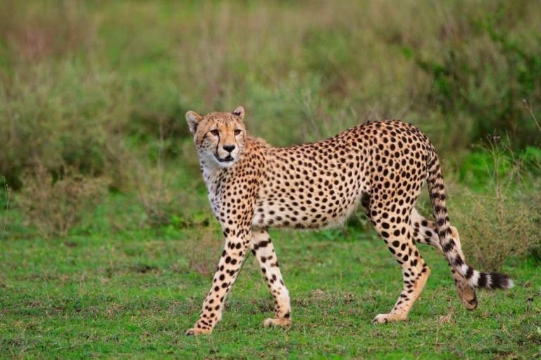 معلومات للاطفال عن الفهد..10 حقائق و معلومات شيقة لطفلك عن حيوان الفهد| بحر المعرفة
