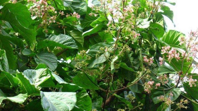 شجرة الكينا واستخداماتها العلاجية الرائعة